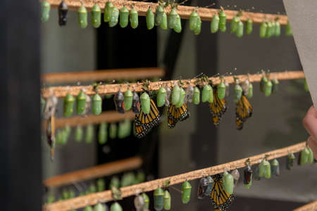 Many butterfly cocoons in diferent stages of development.