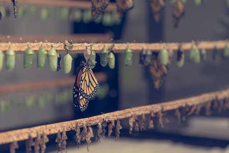Viele Schmetterlingskokons in verschiedenen Entwicklungsstadien.
