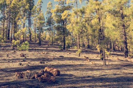Pine tree forest growing on black volcanic soil. 写真素材