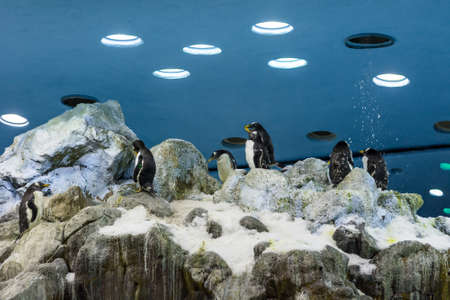 Huge pack of penguins in artifical environment at zoo. Standard-Bild
