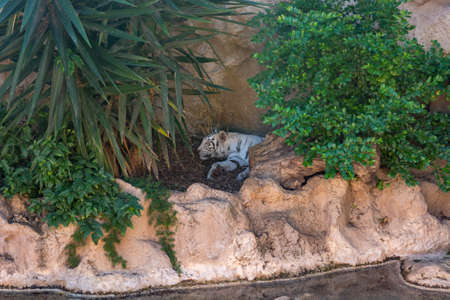 White bengal tiger resting in shade of plants. Standard-Bild - 120958320