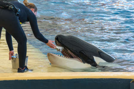 Zookeeper feeding orca whale and taking care of huge hunger.