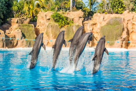 Dolphins jumping spectaculary high at aquarium show. Фото со стока