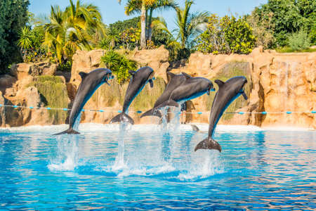 Dolphins jumping spectaculary high at aquarium show.
