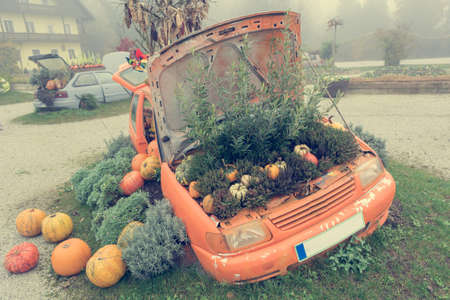 Many pumpings and plants growing in old car outdoor.