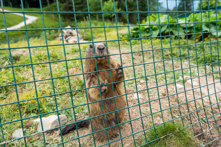 Wild marmot in captivity at mountain resort for research.
