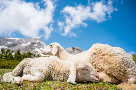 Cute lamb with her mother resting on mountain meadow. Farm animals in alpine environment. Stock fotó