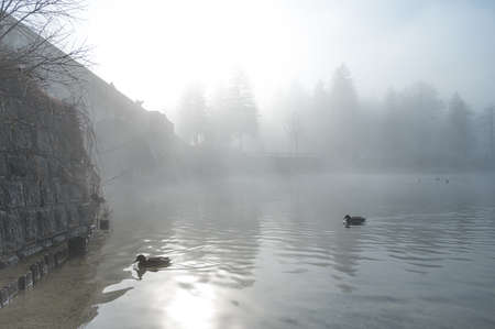 Many ducks swimming across mist covered lake.