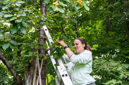 Woman picking fresh organic cherries in her garden.