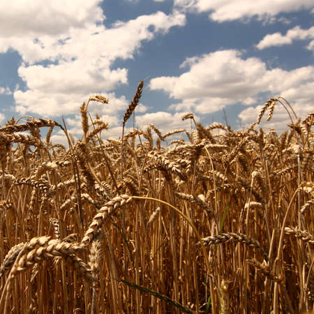 cropcircle: A wheat field against a blue sky Stock Photo