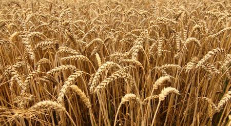 wheatfield: Close up of wheatfield.