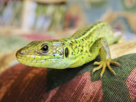bilineata: Sand lizard closeup Stock Photo
