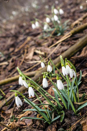 Group of snowdrop flowers on wet forest ground  photo