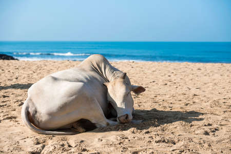 india cow: Cow sunbathing on the beach, Goa, India.
