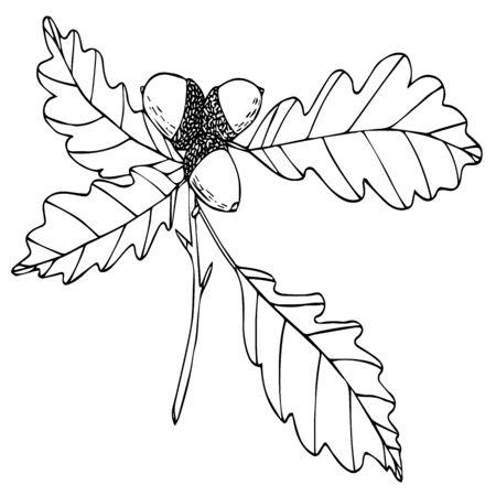 acorn oak branch black line sketch isolated vector illustration for design and decoration