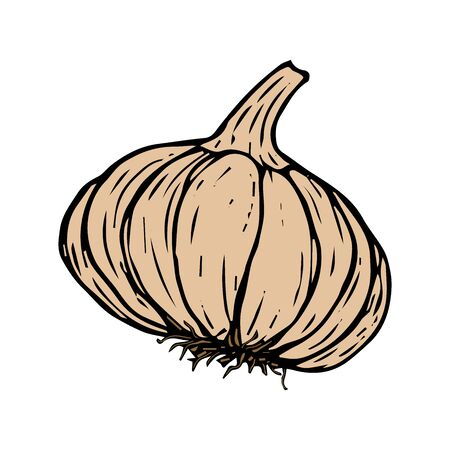 Garlic in color sketch black line isolated on white background vector illustration for design and decoration
