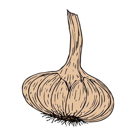 Garlic in sketch black line color isolated on white background vector illustration for design and decoration
