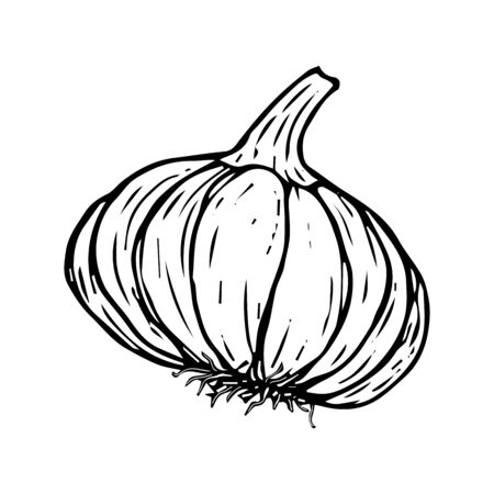 Garlic sketch black line isolated on white background vector illustration for design and decoration