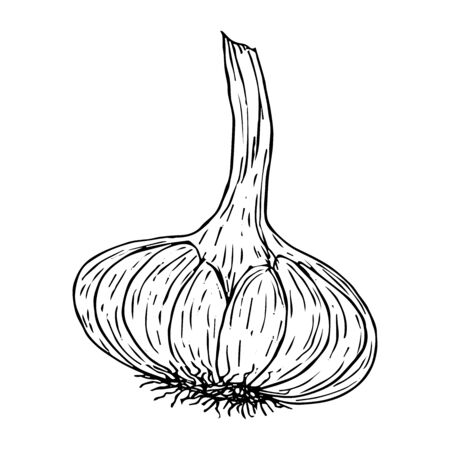 Garlic sketch black line isolated on white background vector illustration for decoration and design