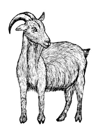 Goat black sketch in line style isolated on white background stock vector illustration for design and decor, logos, business cards, prints. Stock Illustratie