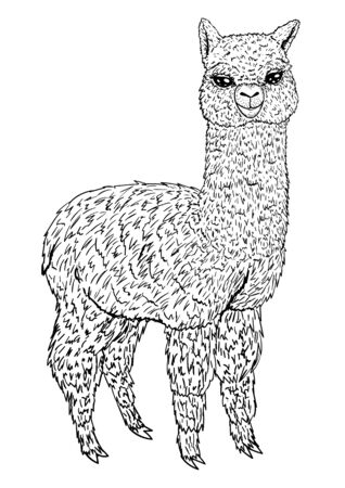 Llama sketch black line isolated on white background, coloring book, vector illustration for design and decoration, prints, children`s image