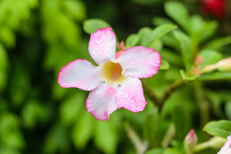 Adenium flower are color pink and white in the green background photo