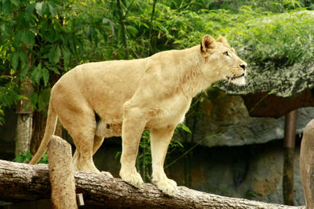 femal: Femal lion stand on a log in forest background