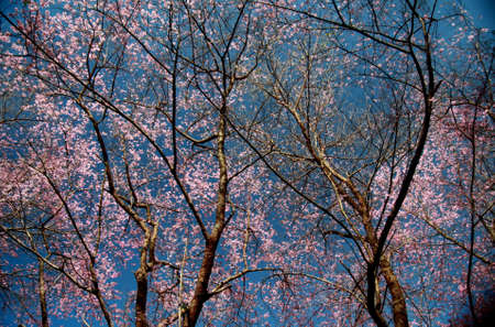 Pink flower tree in thailand with blue sky  photo
