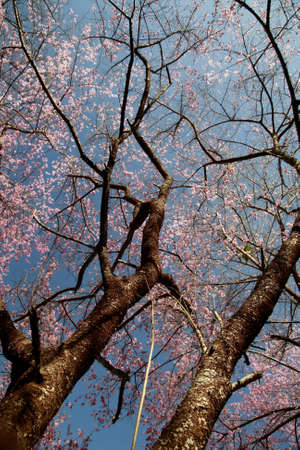 Two sakura pink flower trees under view with blue sky photo