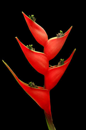 Red bird of paradise flower isolate in black background