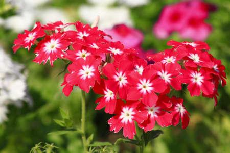 Pink white flowers in garden photo