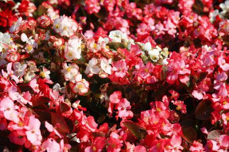 Pink flowers in garden photo