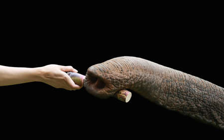 elephant nose: hand feed sugarcane to elephant nose  Stock Photo