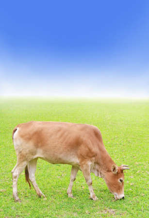 cow on green grass, farmland and blue sky  photo