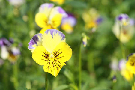 anthesis: yellow wild grass flower  Stock Photo