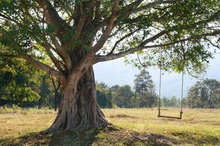 big tree with swing on green field, Chiang Mai, Thailand