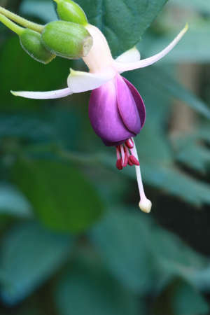 Fushia flowers  photo