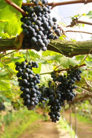 black grape in garden, wine
