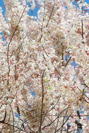 pink white flower tree in Thailand photo
