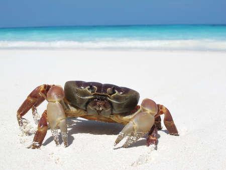 crabs: red crab on beach ,Tachai island, Similan island group, Phang nga, Thailand