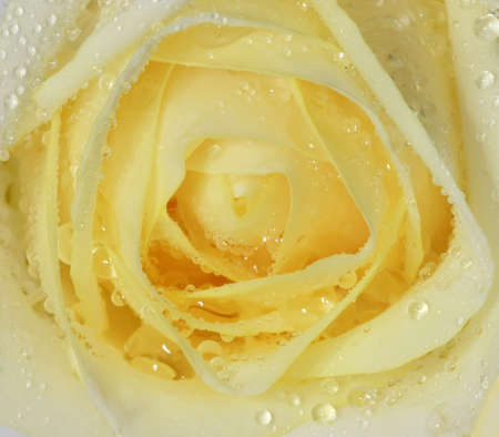 close up rose with water drop  photo