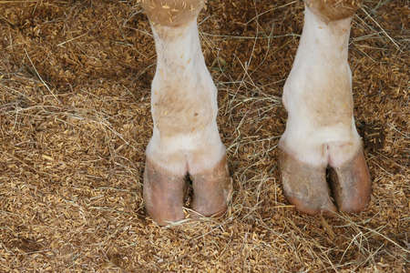 소 발굽 발