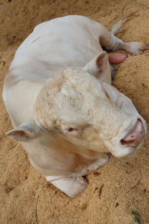 Charolais cow  photo