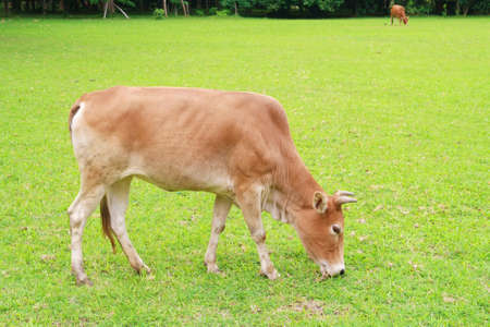 grassfield: a cow is eating grass