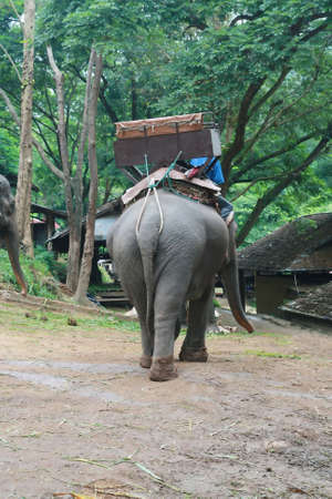 baby ass: back of Thai elephant, Chiang Mai, Thailand