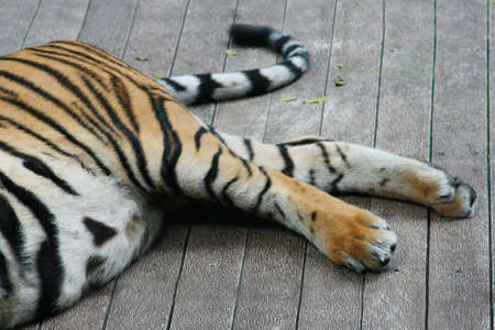 copulate: Tiger legs and tail