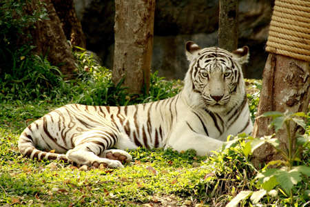 White Tiger lie on grass in forest  photo