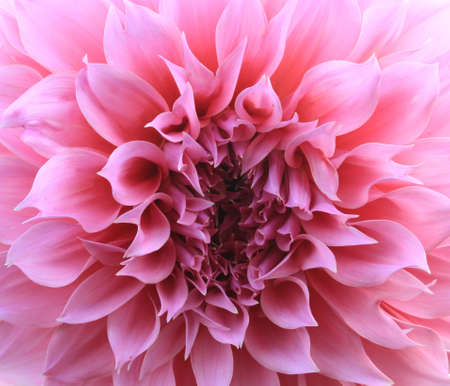pink dahlia flower background  photo