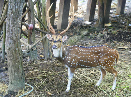 a deer in forest, Chiang Mai, Thailand photo