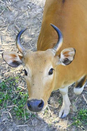 female banteng head  photo